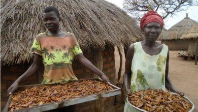 Photo of Wakazi wa kijiji cha Kitgum Uganda waitumia fursa ya Nzige kuvamia mashamba yao na kuwageuza kuwa Chakula
